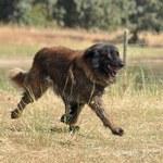 Prawdziwy pies na wilki