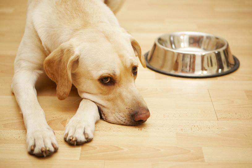Prawidłowe żywienie to podstawa zdrowia psa /123RF/PICSEL