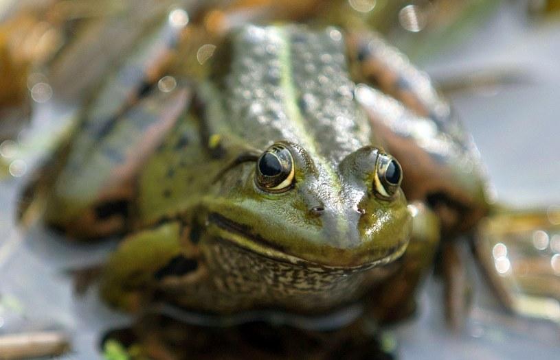 Prawie jedna trzecia z ponad sześciu tysięcy znanych gatunków płazów jest narażona lub zagrożona wyginięciem /AFP