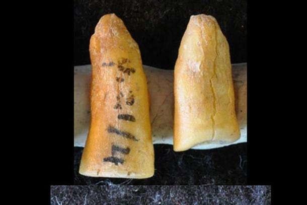 Prehistoryczne zęby /fot. Gregorio Oxilia /materiały prasowe
