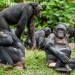 Problemy rozwiązują seksem. Tymi małpami zachwyciła się nauka