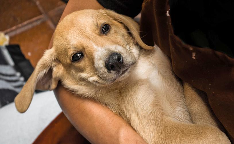 Problemy z psami w dobie pandemii przerosły wielu opiekunów, więc zaczęli faszerować zwierzęta lekami psychotropowymi /123RF/PICSEL