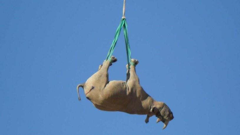 Proces transportu nosorożca fot. Cornell University /materiał zewnętrzny