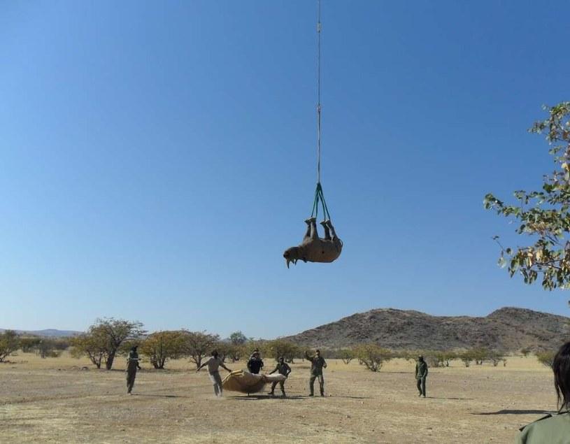 Proces transportu nosorożca. fot. Cornell University /materiał zewnętrzny