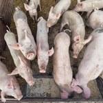 Producenci trzody: Projekt ustawy odorowej potęguje negatywne procesy na wsi
