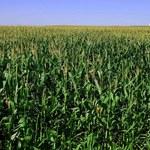 Produkcja alkoholu wpływa na ceny kukurydzy
