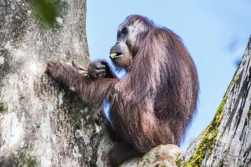 Produkcja oleju palmowego dotyka najmocniej orangutany /123RF/PICSEL