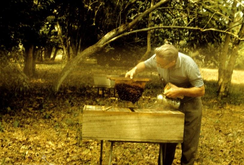 Profesor Jerzy Woyke podczas pracy z pszczołami w Ghanie. Fot. archiwum prywatne /