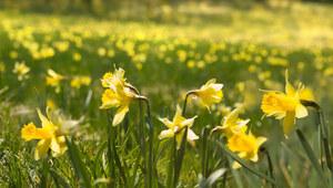 Prognozy: Pierwsze dni astronomicznej i kalendarzowej wiosny!