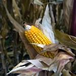 Prognozy prawie rekordowych zbiorów kukurydzy