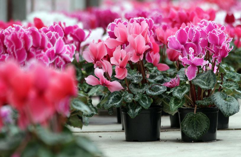 Proste triki sprawią, że twoje kwiaty szybko zakwitną /123RF/PICSEL