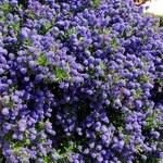 Prusznik: Kalifornijski bez obsypany burzą kwiatów