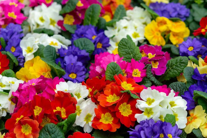Prymulki są jednymi z piękniejszych wiosennych kwiatów /123RF/PICSEL