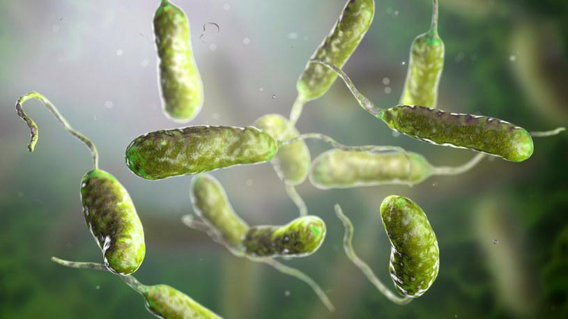 Przecinkowce to mięsożerne bakterie; zakażenie daje objawy m.in. ze strony przewodu pokarmowego /123RF/PICSEL