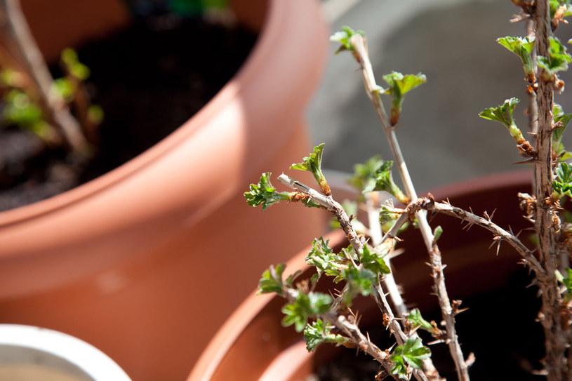 Przed zimą warto usypać dla ochrony wokół rośliny kopczyk z ziemi o wysokości około 30 cm /123RF/PICSEL