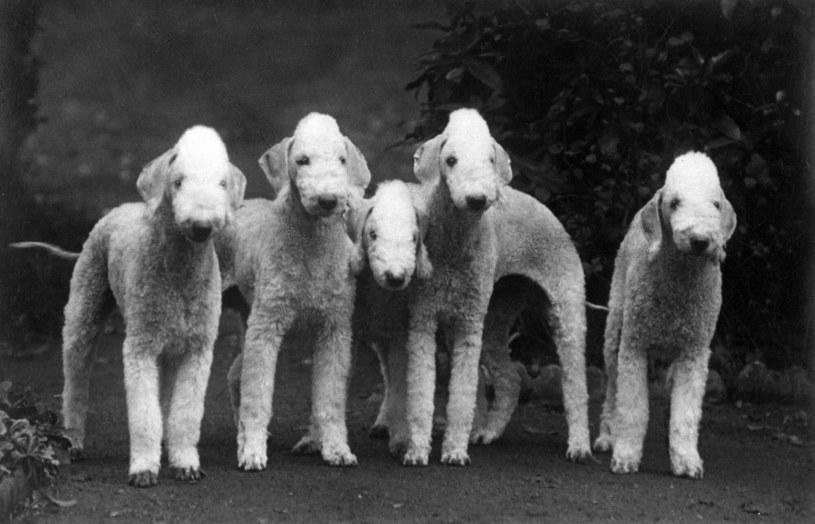 Przedstawiciele rasy bedlington terrier na zdjęciu w 1938 roku /THOMAS FALL/Mary Evans Picture Library /East News