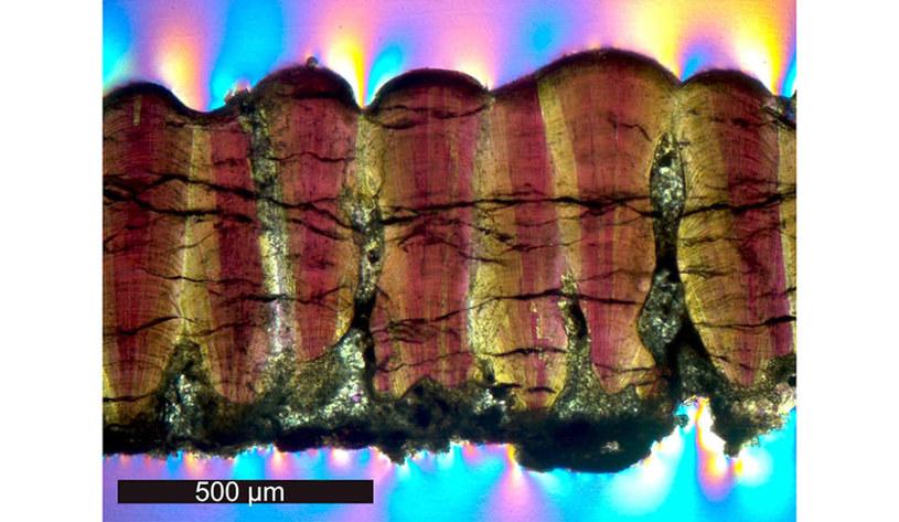 Przekrój przez skamieniałość skorupy jaja dinozaura /materiały prasowe