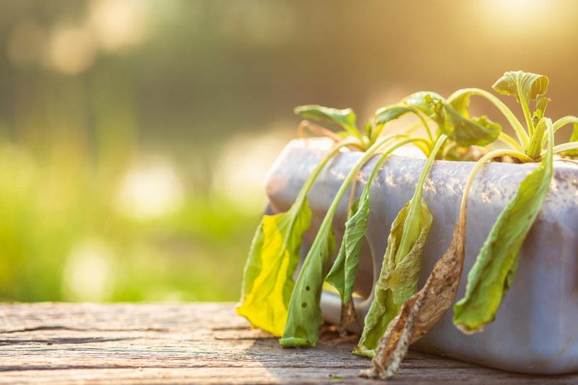 Przelanie roślin często przypomina ich przesuszenie /123RF/PICSEL