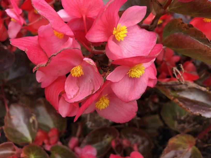 Przepiękne kwiaty begonii kwitną w wielu kolorach - od bieli aż po intensywną czerwień /123RF/PICSEL