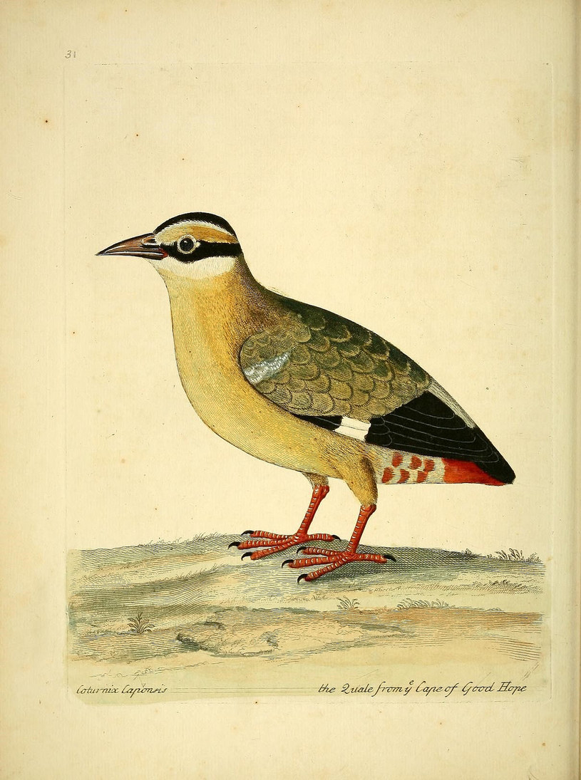 Przepiórka pstra /Biodiversity Heritage Library /INTERIA.PL
