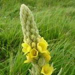 Przepis na olej z kwiatami dziewanny