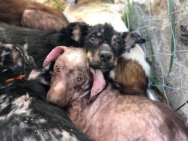 Przerażone, chore i zaniedbane. 21 psów potrzebuje pomocy