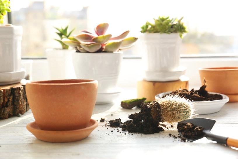 Przesadzając rośliny zawsze trzeba zachować ostrożność. Szczególnie jeżeli mamy do czynienia z kaktusem, który może nas pokłuć /123RF/PICSEL