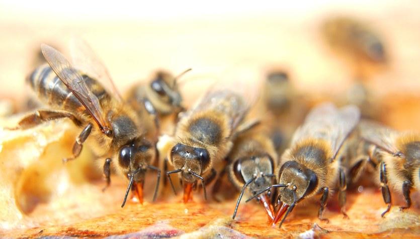 Przez 6 dni jadł jagody i żuł pszczoły
