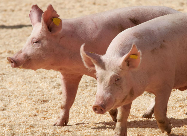 Przez brak rzeźników hodowcy zaczęli zabijać i wyrzucać zdrowe świnie, zdj. ilustracyjne /123RF/PICSEL