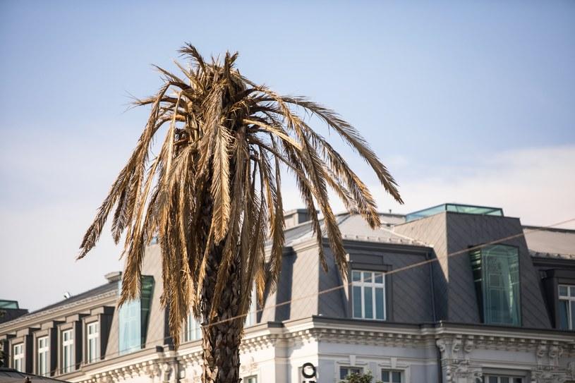 Przez trzy tygodnie warszawska palma miała uschnięte liście /Adam Burakowski /Reporter