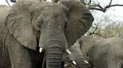 Przodkowie słoni żyli w wodzie
