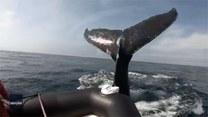 """Przybił im """"piątkę""""? Wieloryb uderzył płetwą w łódkę z turystami"""