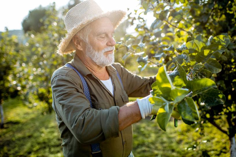Przycinanie drzew latem sprawia, że owoce są większe, smaczniejsze i lepiej wybarwione /123RF/PICSEL