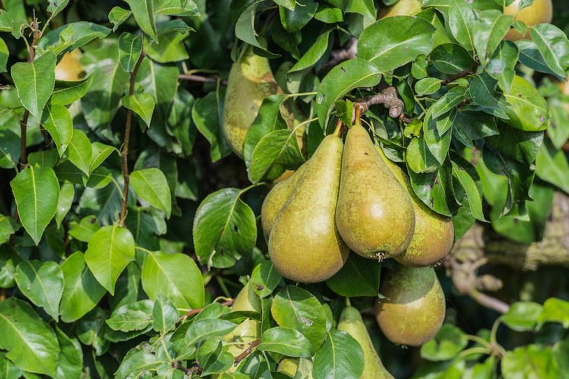 Przycinanie gruszy latem polega na usunięciu młodych pędów /123RF/PICSEL