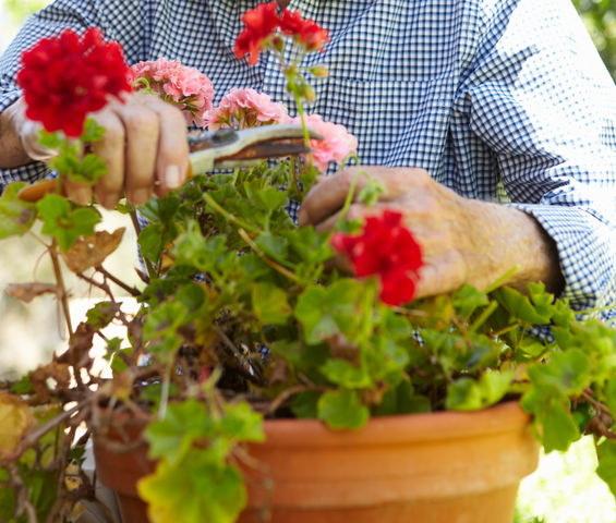 Przycinanie pelargonii /©123RF/PICSEL