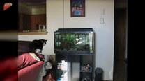 Przyczajony kot skoczył na akwarium. Finał?
