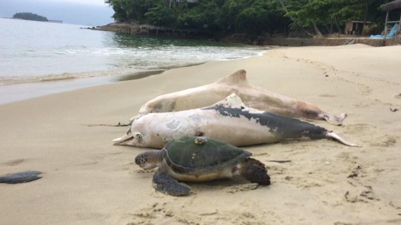 Przyczyna wymierania delfinów w Brazylii jest nieznana. Zdjęcia udostępnione przez Instituto Boto Cinza na Facebooku /materiały prasowe