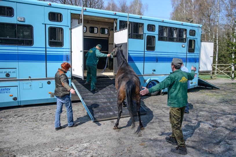 Przygotowania do transportu koni należących do Shirley Watts /Wojciech Pacewicz /PAP