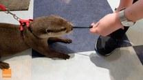 Przyjacielska wydra uczepiła się sznurowadła i nie chciała puścić