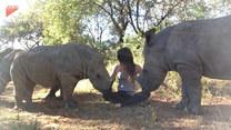 Przyjacielski nosorożec położył się na kobiecie