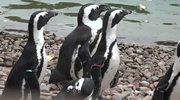 Przymusowa emigracja z wrocławskiego zoo. Pingwiny jadą do Czech