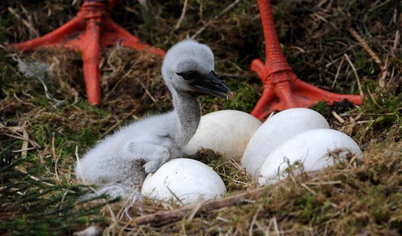 Przyrodnicy: masowo padają młode bociany na gniazdach /AFP