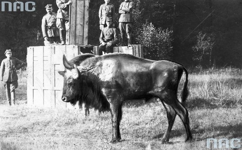 Przywóz żubra do Puszczy Białowieskiej /Z archiwum Narodowego Archiwum Cyfrowego