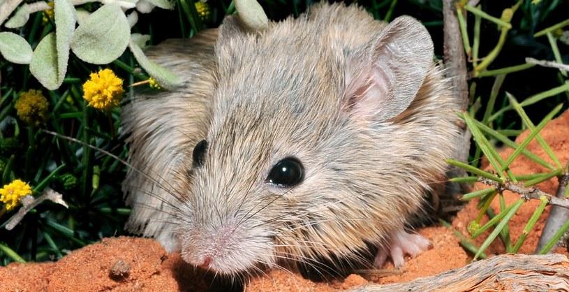 Pseudomys gouldii jednak nie wyginęła /Wayne Lawler/Australian Wildlife Conservancy /materiały prasowe