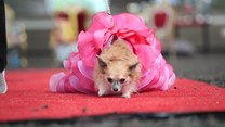 """Psi konkurs piękności. Tegoroczne tematy to """"Alicja w Krainie Czarów"""" i """"Charlie i fabryka czekolady"""""""
