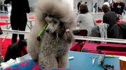 Psie piękności zagościły w Kielcach.Do zobaczenia przedstawiciele 230 ras