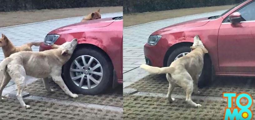 Psy, gryzące samochód człowieka, który kopnął ich przyjaciela! /TomoNews US /YouTube