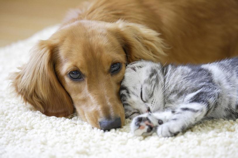Psy i koty mają cudowne działanie na człowieka. Niestety, mogą być też nosicielami chorób /123RF/PICSEL