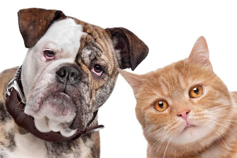 Psy i koty są równie inteligentne /123RF/PICSEL