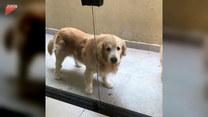 Psy i szklane drzwi. Uda się im przecisnąć?